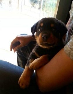 for sale female Rottweier 4 month for sale