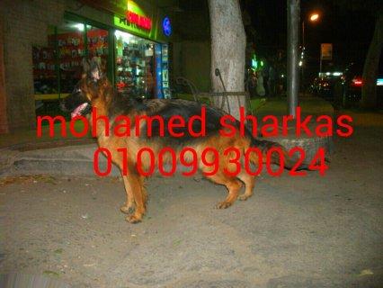 للبيع كلبه بلجيكى ميل اللوان كسحه عراقيب 01009930024محمد شركس