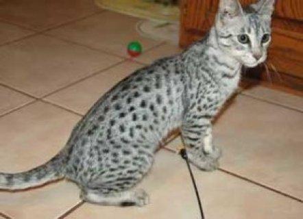 Savannah Kittens Available Now