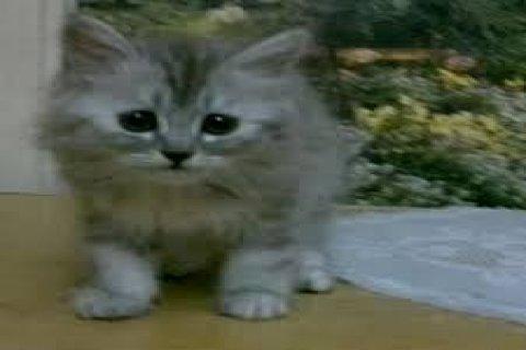 قطتين شيرازي رمادي اللون الواحد بــ150 جنيه