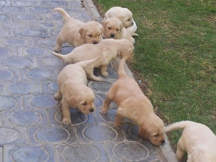 جولدن ريتريفرGreat Golden retriever puppies for sale