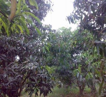 farms for sale in Alsharqiya مزرعة للبيع بمساحة 26 فدان