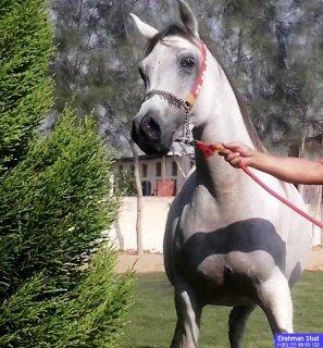 فرسة مصرية (مروة) مواليد 1997 بنت (أكابر×سيناوى)