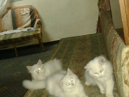 cats  شيرازي