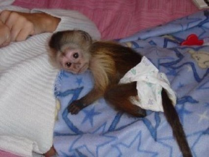 صور Capuchin Monkey for Adoption 1