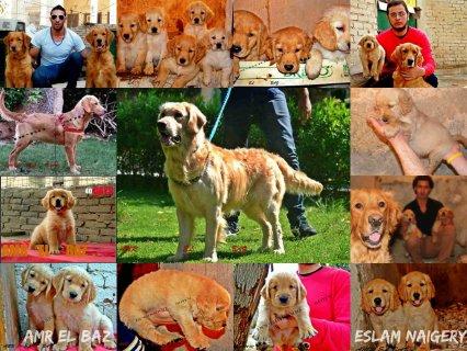 Golden puppies 41 days 01226306209