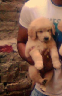 جرو جولدى ريتريفرMale Golden Retriever Puppy for sale
