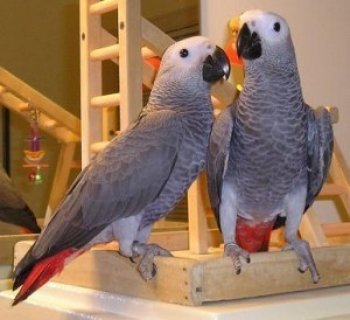 Congo African Grey Parrot for Adoption