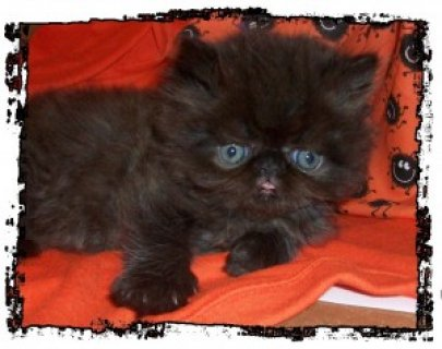 صور CFA Persian Kittens - PUREBRED for adoption 1