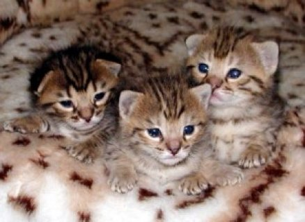 TICA Registered F2 Savannah kittens