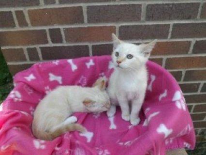 Bengal Kittens for adoption Best offer