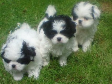 Beautiful JATZU (Japanese chin/shih tzu mix) Puppies ready for a
