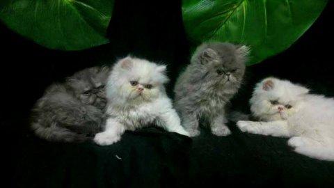 قطط بيرشن ذكور واناث