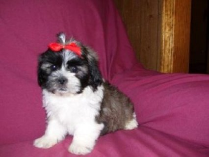 صور Male and Female Shih Tzu Puppies 1