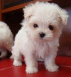 12 Weeks Old Maltese Puppies