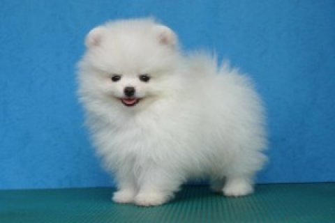 Pomeranian Puppy Available