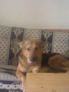 كلبة جيرمن السنسنة و4 شهور