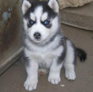 Healthy Male and Female Siberian Husky Puppies Available