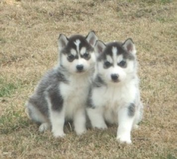 1 Male and 1 Female Siberian Husky Pups