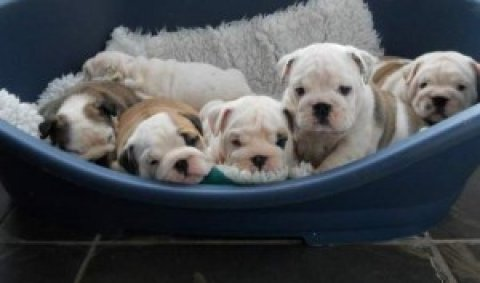 Home Trained English Bulldog Puppies.