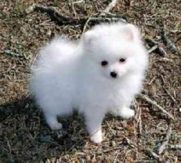 Lovely Pomeranian Puppy