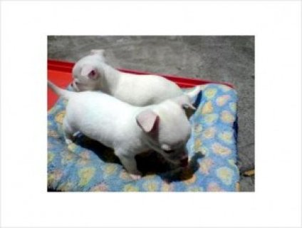 Chihuahua Pups For Ex,mass