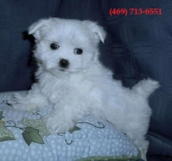 Teacup Maltese Puppies for Sale