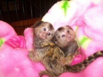 صور I have two Marmoset monkeys for sale 1