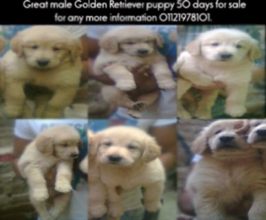 صور  any mo Great male Golden Retriever puppy 50 days 1