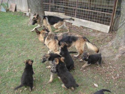 5 x German Shepherd Puppies