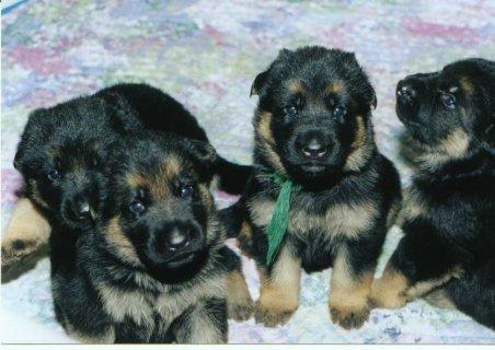 full pedigee german shepherd pups ready