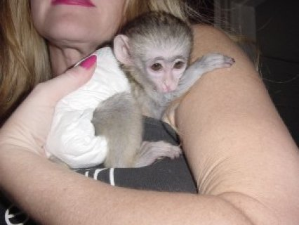 Exmass Capuchin Monkey for Rehoming