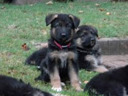 Intelligent German Shepherd Puppies