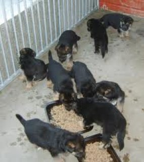 German Shepherd Pups for Re-homing