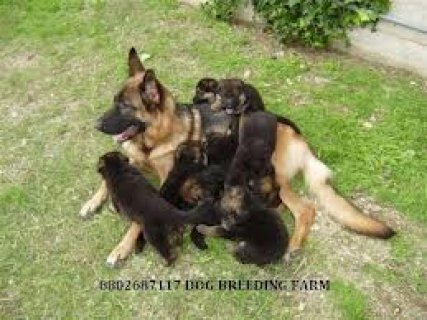 Cute and Healthy German Shepherd Puppies