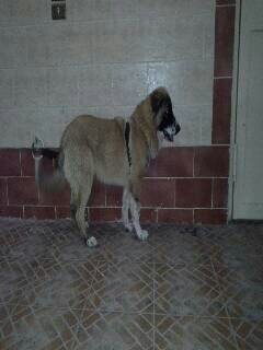 .............female 5 month caucasian shepherd