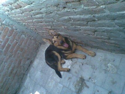 كلب جيرمن 10 شهور لزواج تقليب عالي وخشب عريض