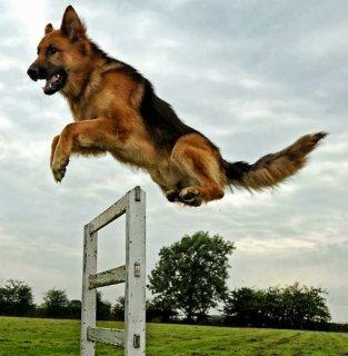 تدريب الكلاب شئ مهم في حياتنا معانا افضل المدربين وباحسن الاسعار