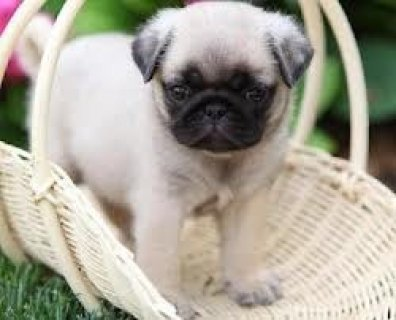 Cute X MASS PUG Puppies for adoption