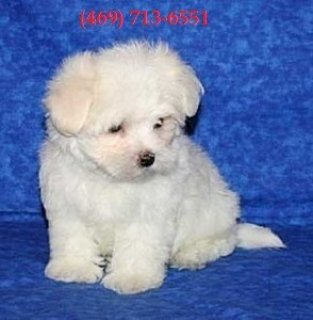 Stunning Male & Female Teacup Maltese Puppies