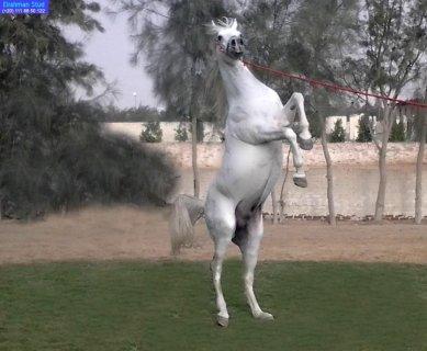 حصان عربى 100% (بندر) مواليد 2004 إبن( إيمان فتوح×جمال صقر)