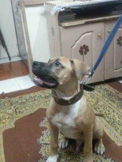 للبيع كلب بيتبول عنده 3 اشهور