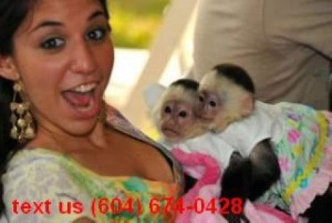 Charming Capuchin Monkeys for Adoption