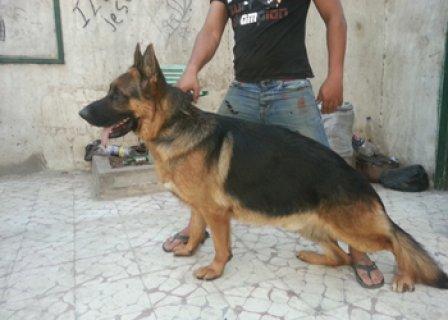 كلب جيرمن شيبرد للتزاوج مواصفات عالية للتزاوج