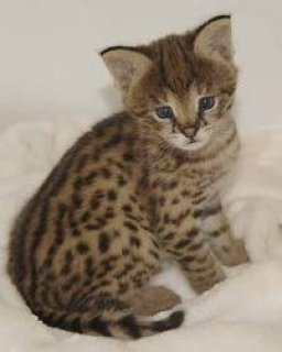 صور Lovely Ocelot Cats   1