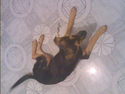 كلب جيرمن شيبرد 5 شهور للبيع