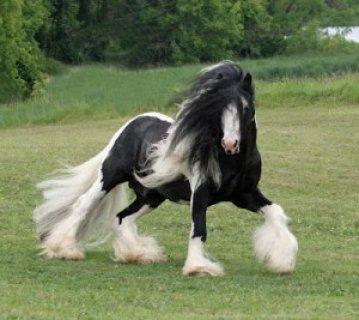 Gypsy Horses for Adoption