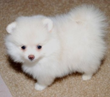 male and female Pomeranian puppies for adoption