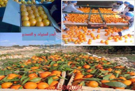 برتقال مصرى للتصدير