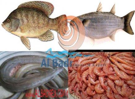 سمك بلطى و بورى و جمبرى و السعر جبار